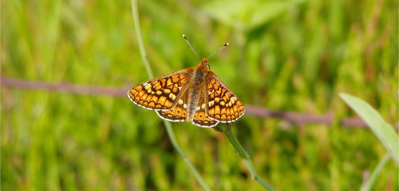 The Marsh Fritillary is one of the UK's most endangered butterflies