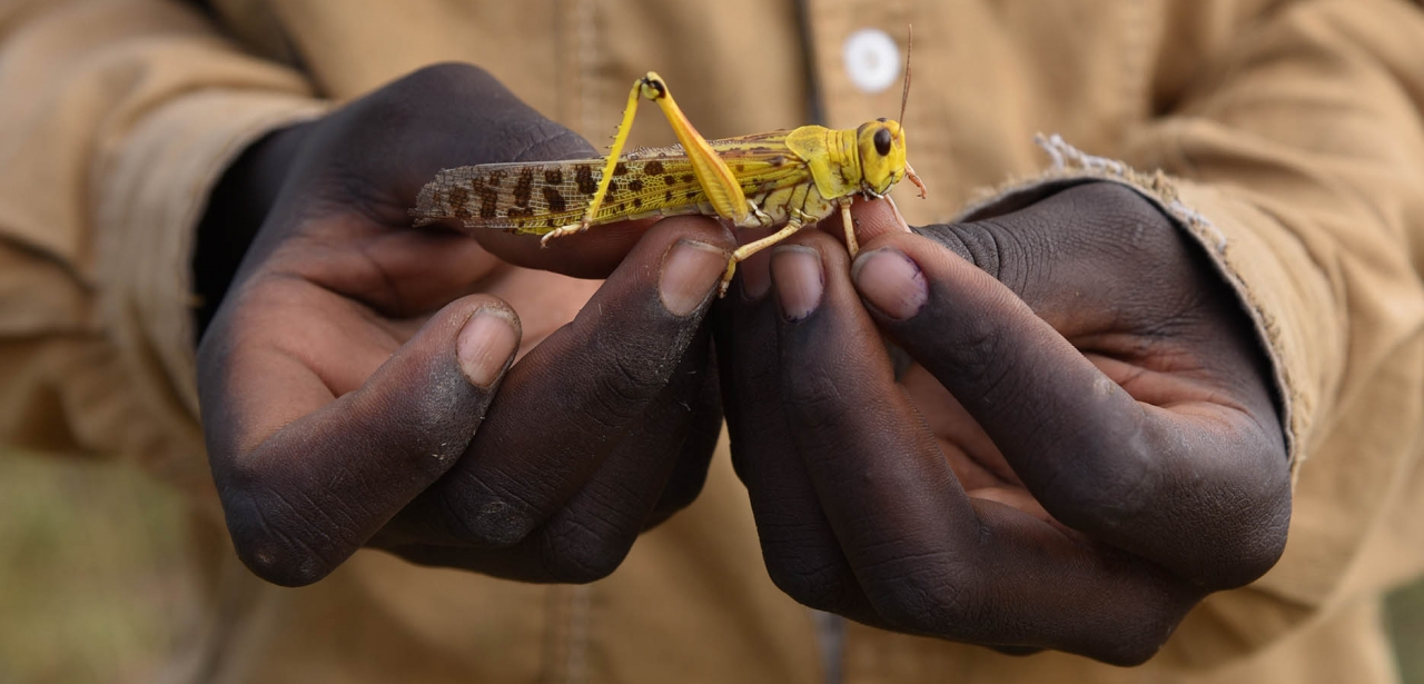 Locust in the palm of a hand.