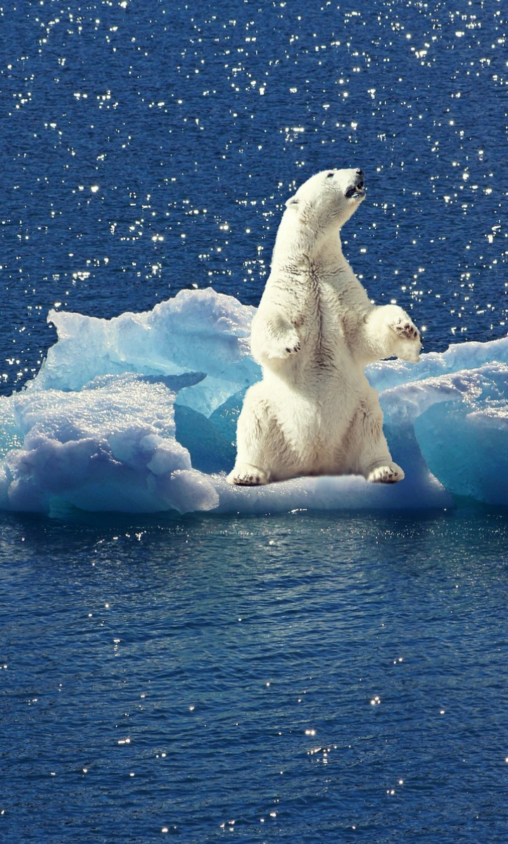 Polar bear on melting ice cap