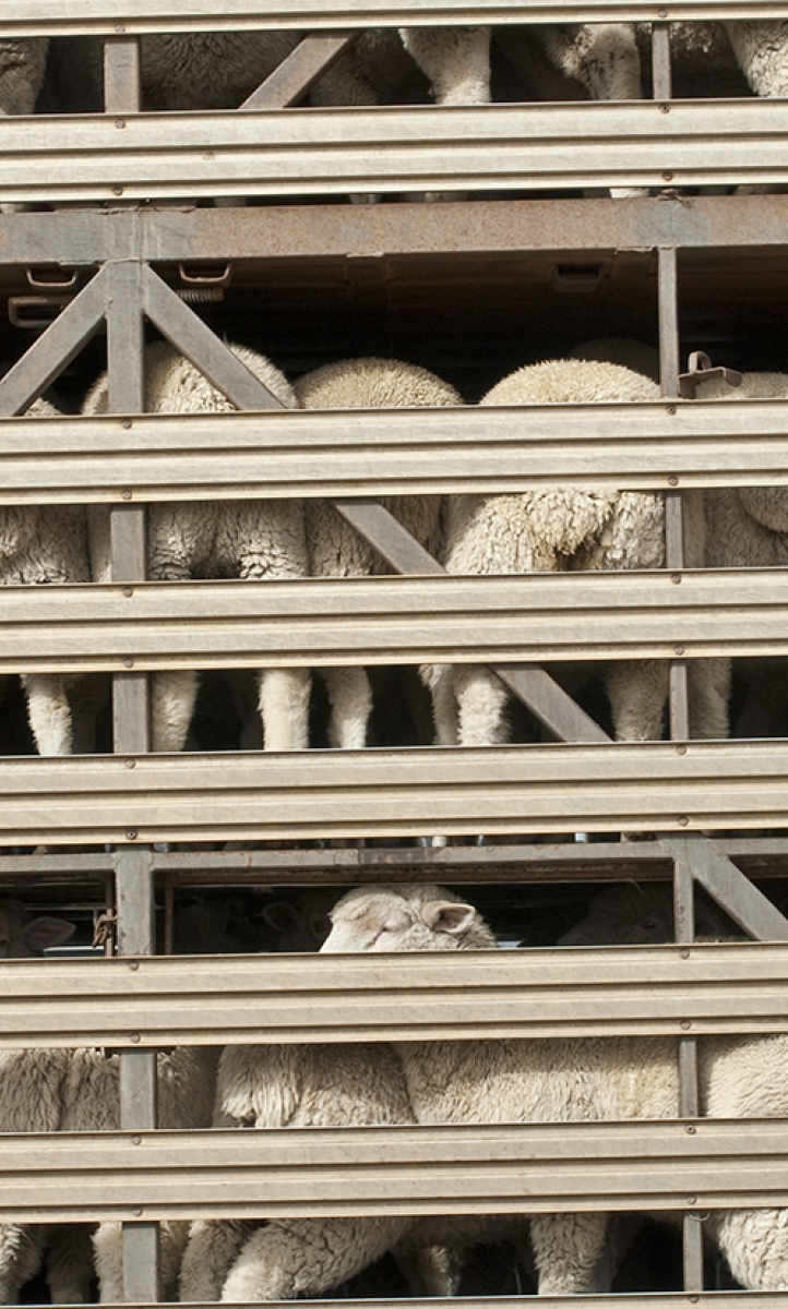 Sheep export