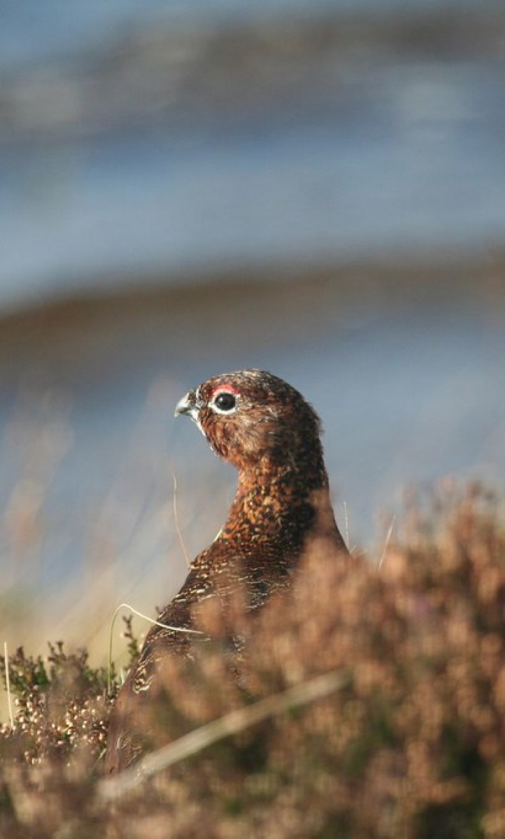 A red grouse on the moor.