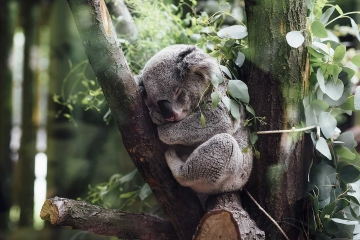 An image of a koala