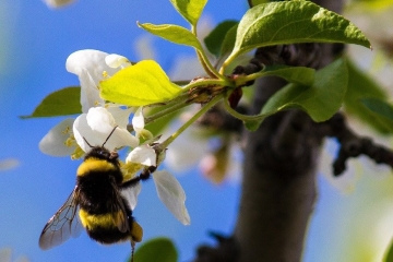 Pollinating bumble bee