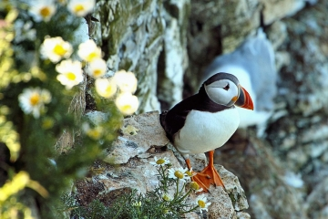 Puffin on Bempton Cliffs